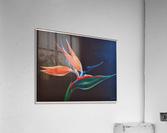 Bird of Paradise 2  Acrylic Print