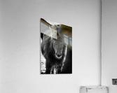 Icelandic Foal  Acrylic Print