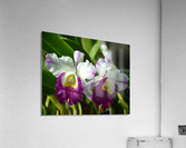 Purple And White Orchids  Acrylic Print