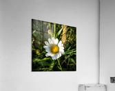 Little daisy in grass  Acrylic Print