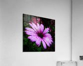 Violet flower with raindrops  Acrylic Print