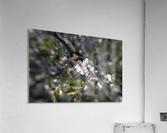 Flowering almonds 2  Acrylic Print