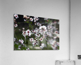Flowering almonds 1  Acrylic Print