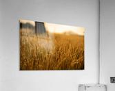 Golden Hour Field  Acrylic Print