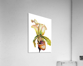 Blooming Paphiopedilum Orchids  Acrylic Print