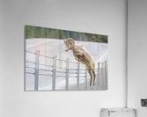 7585 - Bighorn Sheep - Kananaskis Country Alberta. Canada  Acrylic Print