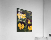 Yellow and purple pansies  Acrylic Print