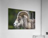 5513 - Big Horn Sheep  Banff National Park Canada  Acrylic Print