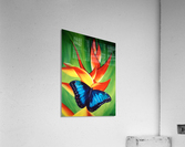 blue butterfly     Impression acrylique
