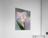 Pale Pink Tulips  Acrylic Print