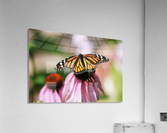 Closeup Butterfly on Cone Flower  Acrylic Print