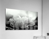 Heavenly Peony Black and White  Acrylic Print
