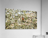 Robin Sitting on Branch  Acrylic Print