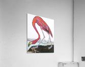 Louisiana Flamingo Study on Wood  Acrylic Print