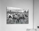 Cow Herd up Close  Acrylic Print