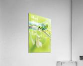 an Daphnis Nerii  Acrylic Print