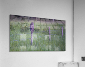 0077 - Great Grey Owl Fence Line Hunter  Acrylic Print