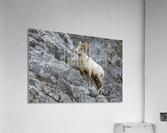 8016 - Big Horn Sheep  Acrylic Print