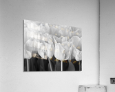 Bunch of Tulips close-up  Acrylic Print