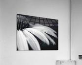Coneflower close-up  Acrylic Print