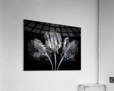 Three rococo tulips close-up  Acrylic Print