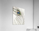 Peacock feather  Impression acrylique