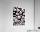 Dahlia Flowers, Full Frame  Acrylic Print