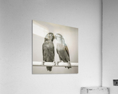 Two love birds kissing  Acrylic Print