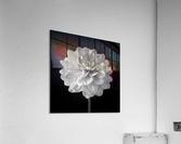 Dahlia flower on black background  Acrylic Print