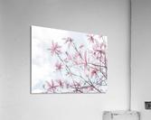 Magnolias against sky  Acrylic Print