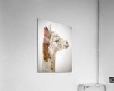 Close-up of Alpaca  Acrylic Print