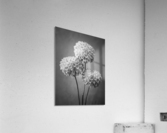 Three Dahlia flowers  Acrylic Print