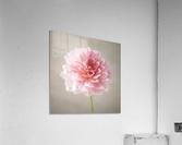 Dahlia flower on colored background  Acrylic Print