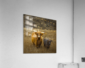 Highland Cows  Acrylic Print