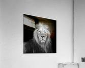 Lion face  Acrylic Print