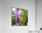 Bee On Lavender  Acrylic Print