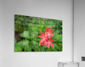 Three Bold Pink River Lily Blooms - Exotic South African Beauties in a Garden  Acrylic Print