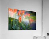 Tulips For You  Acrylic Print