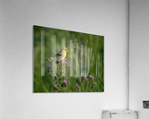 Goldfinch Female  Acrylic Print