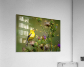 Goldfinch Male  Acrylic Print