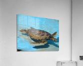 Sea Turtle - Natural World Kids Gallery  Acrylic Print