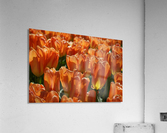 Spring Blooms of Holland 4 of 8  Acrylic Print