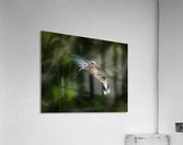 Hummingbird 1B by Leigh Pelton   Acrylic Print