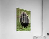 Muskox  Acrylic Print