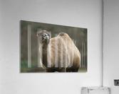 Camel  Acrylic Print