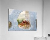 Cayman Crab   Acrylic Print