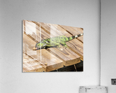 Cayman Green Iguana Snacking  Acrylic Print
