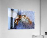 Cayman Cornered Crab  Acrylic Print