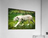 White Bengal Tiger  Acrylic Print