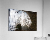 White Bengal Tiger 2  Acrylic Print